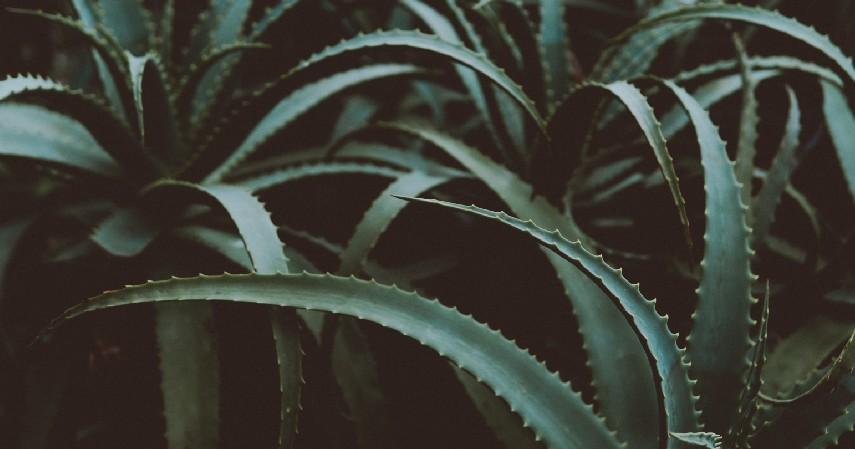 Lidah Buaya - 11 Cara Memutihkan Wajah Secara Alami Aman dan Murah