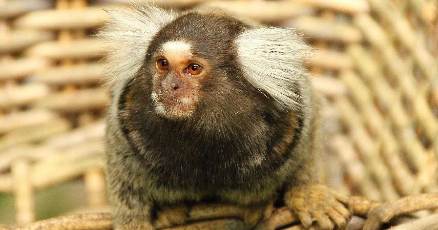 Monyet Marmoset - 7 Hewan Peliharaan Unik Milik Selebgram Hingga Idol Kpop