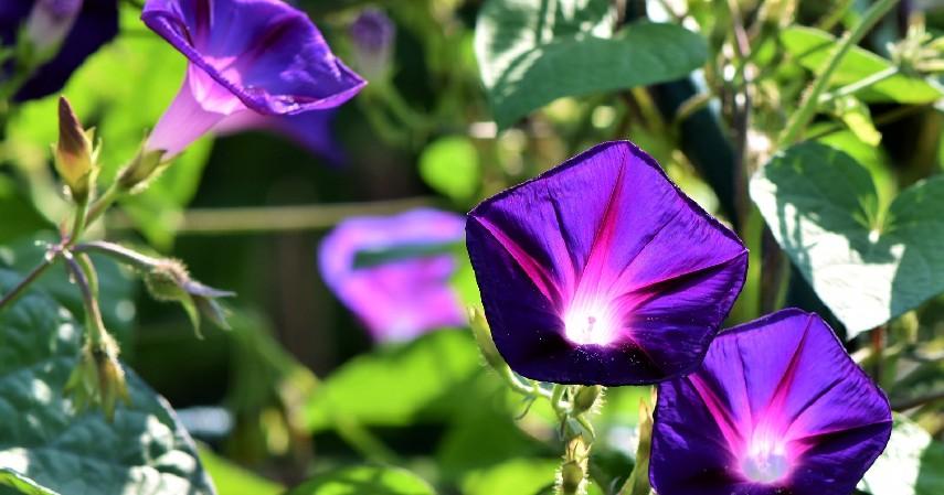 Morning Glory - 14 Tanaman Merambat Berbunga yang Cantik dan Segudang Manfaatnya