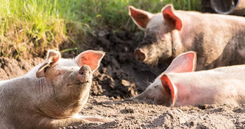 Penularan dan Gejala Flu Babi - Berpotensi Jadi Pandemi Seperti Apa Flu Babi Jenis Baru