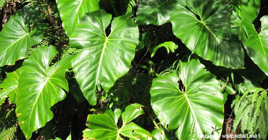 Philodendron - 10 Tanaman di Dalam Air untuk Mempercantik Dekorasi Rumah