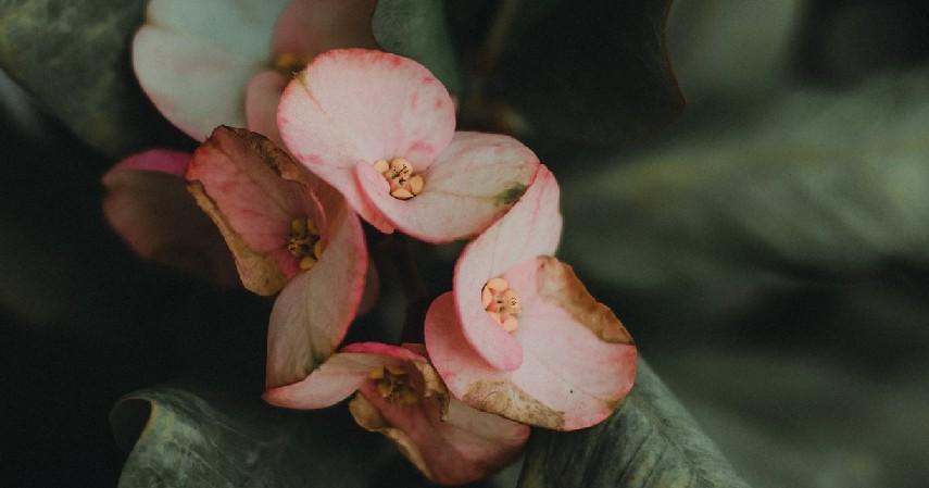 Tanaman Hias Bunga Euphorbia - 16 Tanaman Hias Tahan Panas yang Bikin Rumah Tampak Indah dan Asri