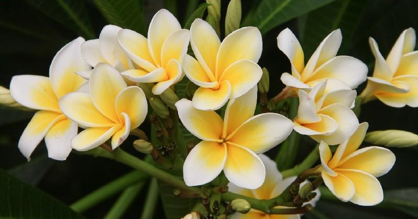 Tanaman Hias Bunga Kamboja - 16 Tanaman Hias Tahan Panas yang Bikin Rumah Tampak Indah dan Asri