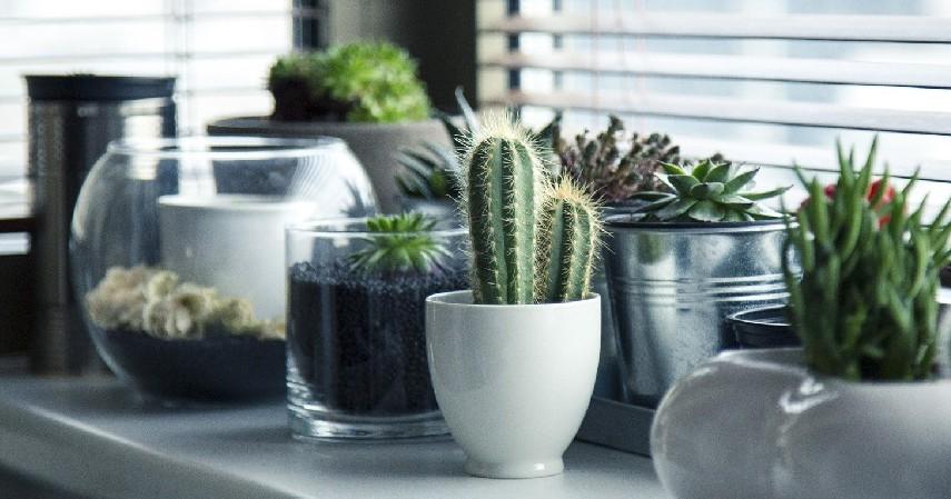 Tanaman Hias Kaktus - 16 Tanaman Hias Tahan Panas yang Bikin Rumah Tampak Indah dan Asri