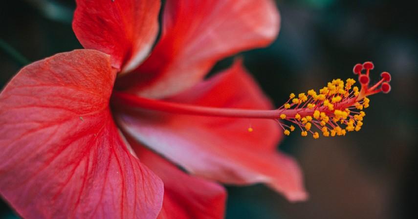 Tanaman Hias Kembang Sepatu - 16 Tanaman Hias Tahan Panas yang Bikin Rumah Tampak Indah dan Asri