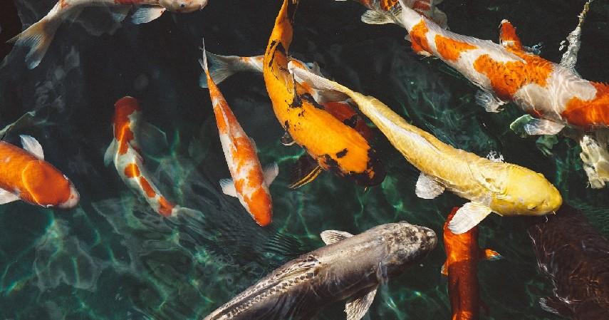 Usaha Budidaya Ikan Hias - 30 Peluang Usaha Rumahan Ini Gak Butuh Modal Besar