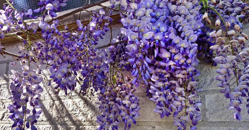Wisteria - 14 Tanaman Merambat Berbunga yang Cantik dan Segudang Manfaatnya