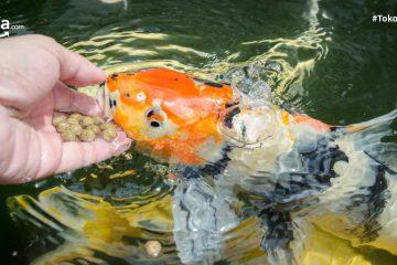 10 Merk Makanan Ikan Hias Terbaik Paling Laris dan Bikin Ikan Sehat