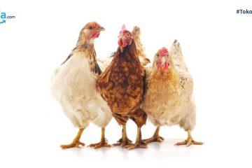 10 Jenis-jenis Ayam di Indonesia, Sudah Tahu?