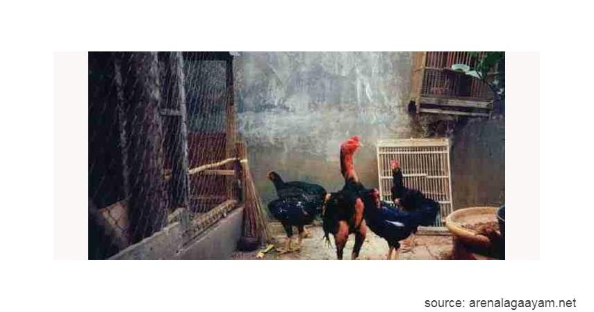 Ayam Ayunai - 10 Jenis-jenis Ayam di Indonesia
