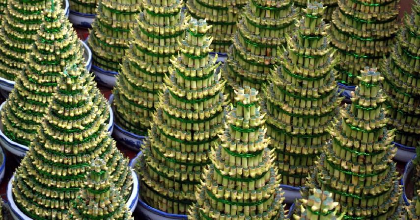 Bambu Hoki - 15 Daftar Tanaman Pembawa Keberuntungan dan Kekayaan Berlimpah