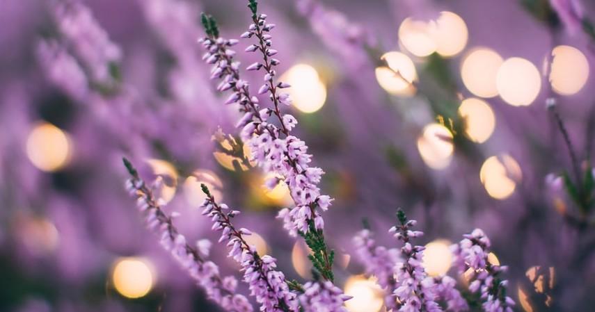 Cara-Menghilangkan-Tungau-Kasur-Bunga-lavender
