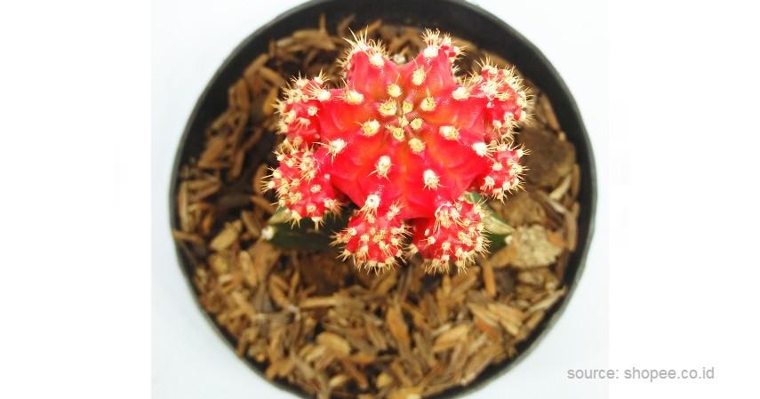 Kaktus Gymno - 12 Jenis-Jenis Kaktus Hias Mini Terlengkap Beserta Harganya