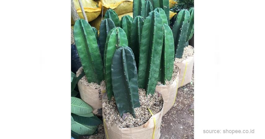 Kaktus Koboi - 12 Jenis-Jenis Kaktus Hias Mini Terlengkap Beserta Harganya