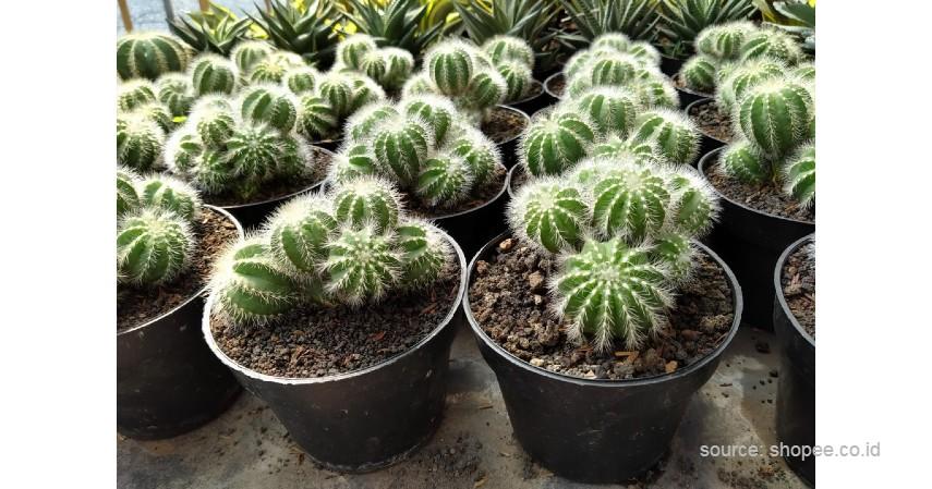 Kaktus Noto - 12 Jenis-Jenis Kaktus Hias Mini Terlengkap Beserta Harganya