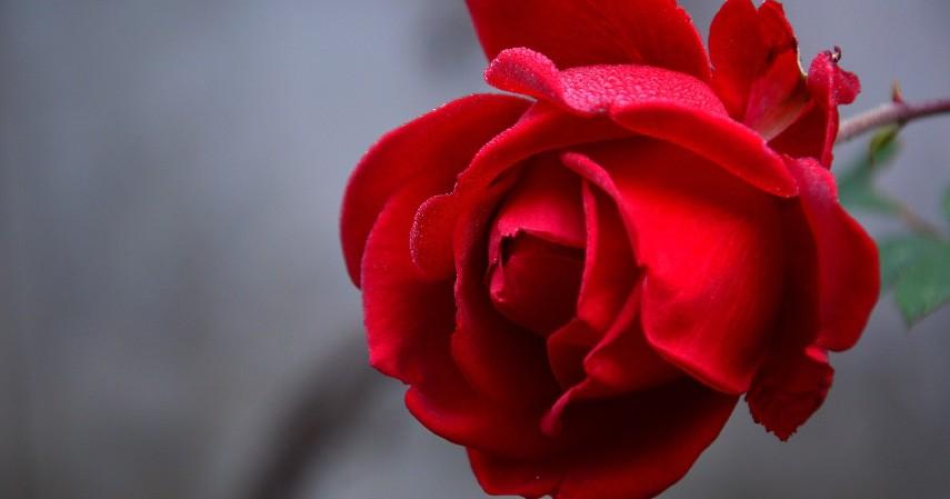 Mawar - 15 Daftar Tanaman Pembawa Keberuntungan dan Kekayaan Berlimpah