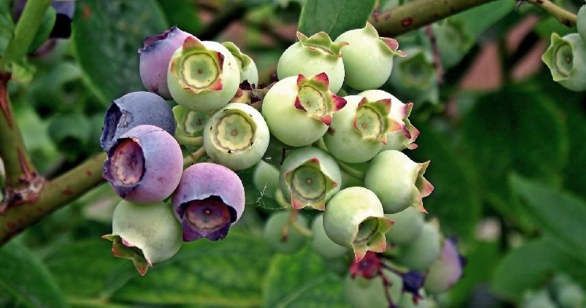 Obat Alami Katarak dengan Buah Bilberry - 10 Obat Alami Katarak Tanpa Biaya Mahal