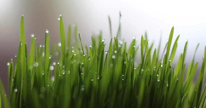 Obat Alami Katarak dengan Wheatgrass - 10 Obat Alami Katarak Tanpa Biaya Mahal