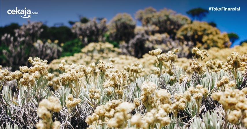 10 Fakta Bunga Edelweis, Bunga Abadi yang Mekar di Musim Hujan