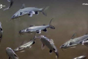 8 Manfaat Ikan Manyung, dari Nyeri Sendi hingga Tingkatkan Trombosit