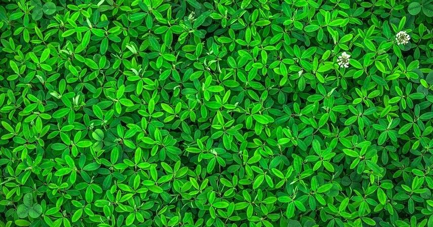 Membuat Warna Daun Lebih Hijau - Beragam Manfaat Micin Untuk Tanaman dan Cara Menggunakannya