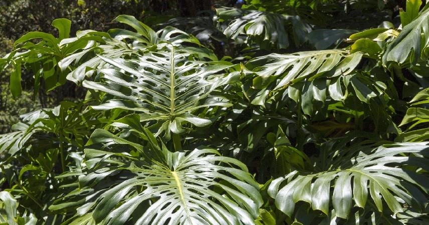 Philodendron - 7 Tanaman Hias Paling Mahal di Indonesia yang Cocok untuk Dekorasi Rumah