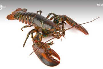6 Jenis Lobster di Indonesia Beserta Peluang Bisnisnya