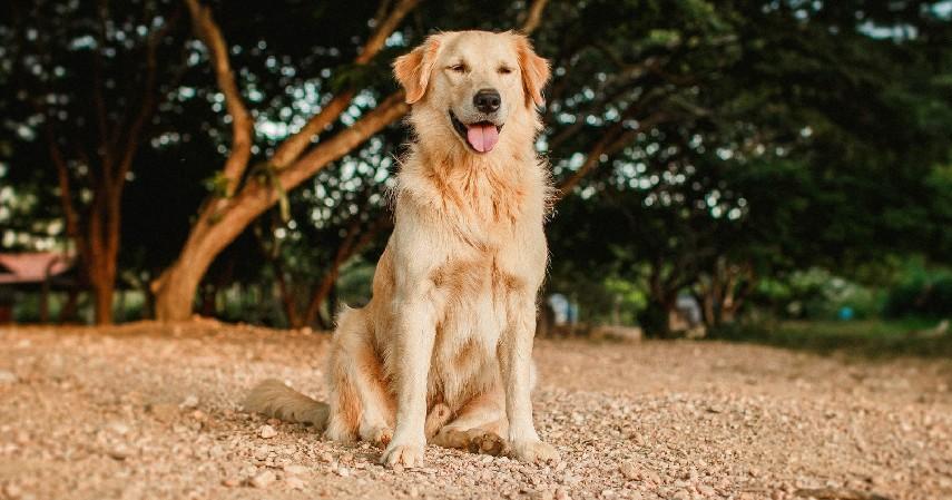 Anjing Murni atau Anjing Campuran - 7 Tips Memilih Anjing Peliharaan untuk Pemula