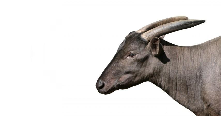 Anoa - 15 Daftar Hewan yang Terancam Punah di Indonesia