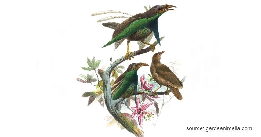 Burung Bidadari Halmahera - 15 Daftar Hewan yang Terancam Punah di Indonesia