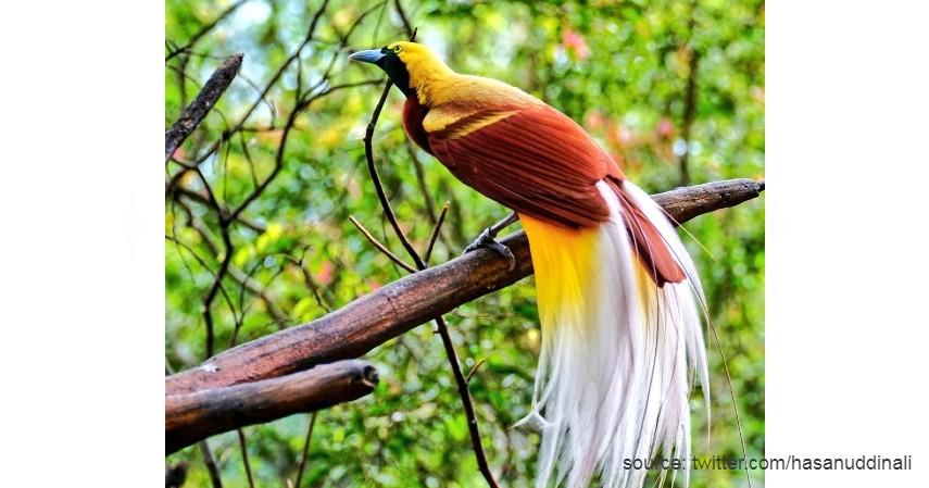 Burung Cendrawasih - 15 Daftar Hewan yang Terancam Punah di Indonesia