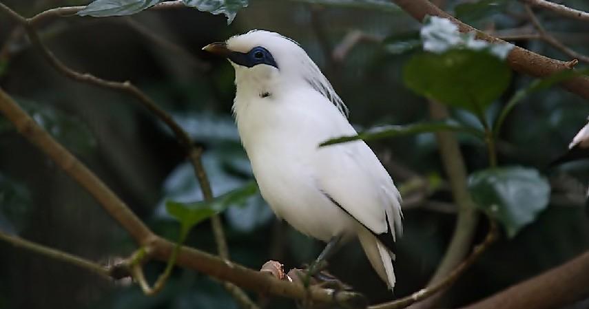 Burung Jalak Bali - 15 Daftar Hewan yang Terancam Punah di Indonesia