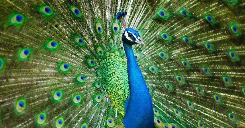 Burung Merak - 15 Daftar Hewan yang Terancam Punah di Indonesia