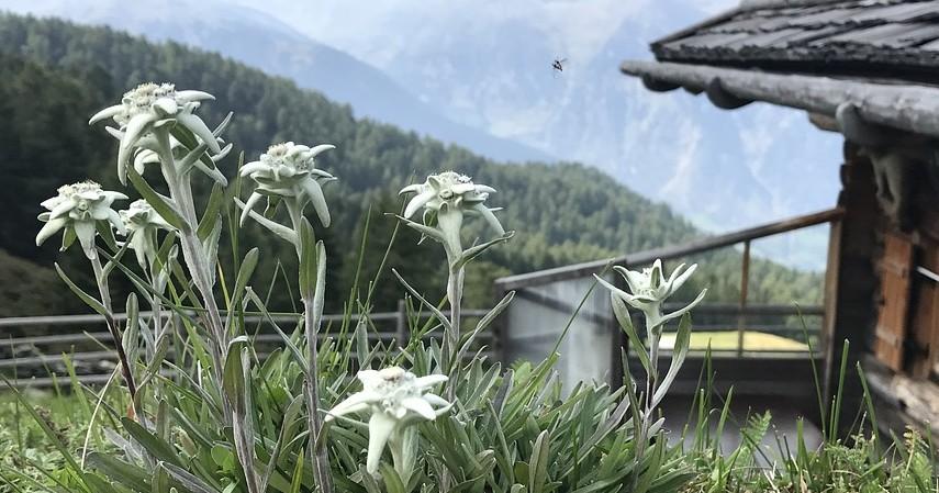 Fakta Bunga Edelweis - Bisa tumbuh hingga 8 meter