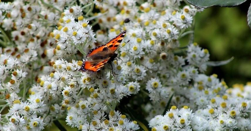 Fakta Bunga Edelweis - Saat mekar banyak dihinggapi serangga