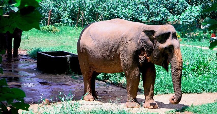 Gajah Sumatera - 15 Daftar Hewan yang Terancam Punah di Indonesia