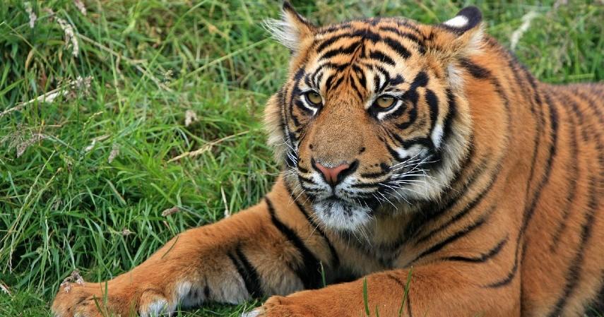 Harimau Sumatera - 15 Daftar Hewan yang Terancam Punah di Indonesia