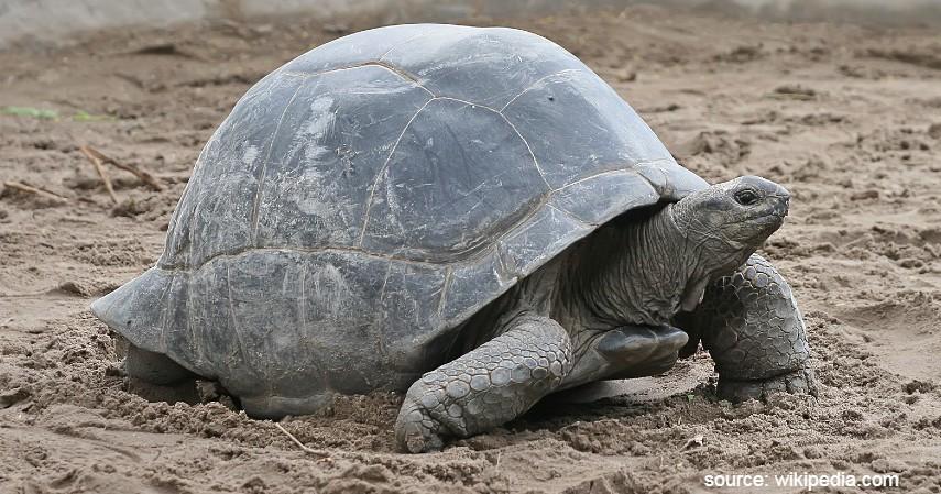Hewan dengan Usia Terpendek dan Terpanjang di Dunia - Kura kura Raksasa Aldabra