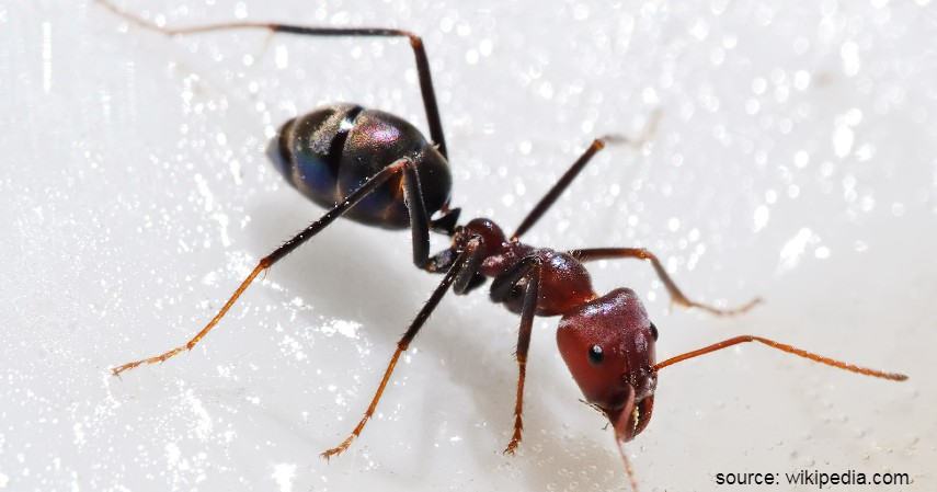 Hewan dengan Usia Terpendek dan Terpanjang di Dunia - Semut pejantan
