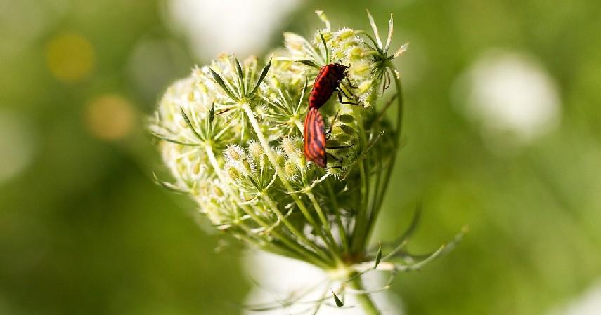 Kissing Bugs - 12 Serangga Paling Berbahaya yang Patut Diwaspadai