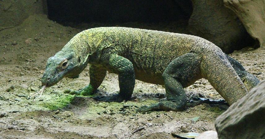 Komodo - 15 Daftar Hewan yang Terancam Punah di Indonesia