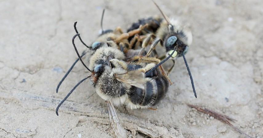 Lebah Pembunuh - 12 Serangga Paling Berbahaya yang Patut Diwaspadai