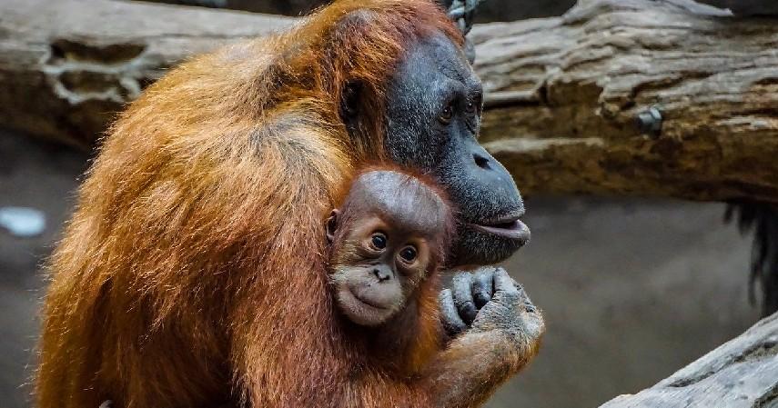 Orang Utan - 15 Daftar Hewan yang Terancam Punah di Indonesia