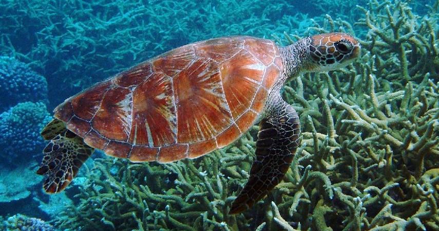 Penyu - 15 Daftar Hewan yang Terancam Punah di Indonesia