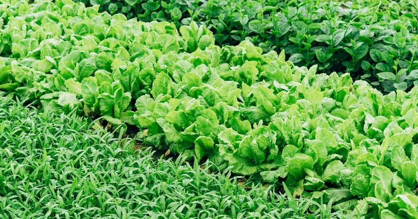 Sukses Budidaya Sayuran Organik dengan Beberapa Tips Berikut Ini - Gunakan Prinsip Penanaman Pendamping