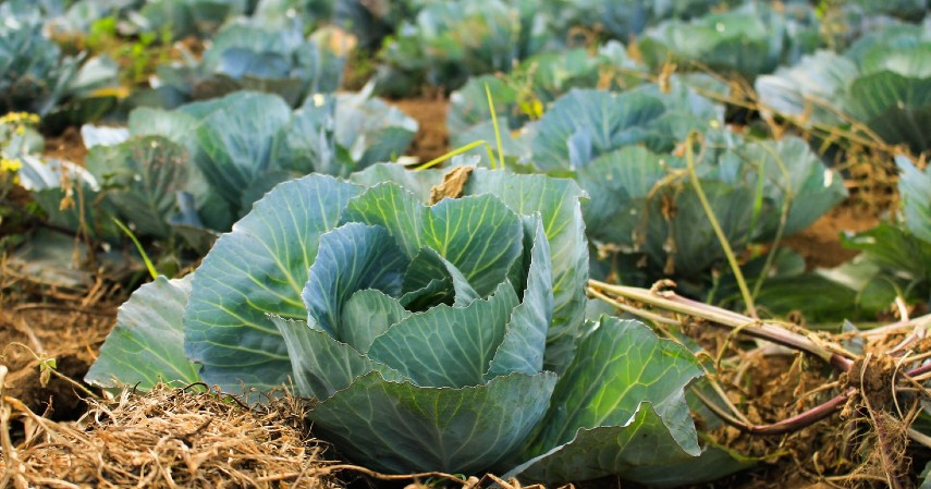 Sukses Budidaya Sayuran Organik dengan Beberapa Tips Berikut Ini - Rotasi Tanaman