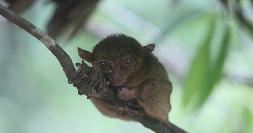 Tarsius Tarsier - 15 Daftar Hewan yang Terancam Punah di Indonesia