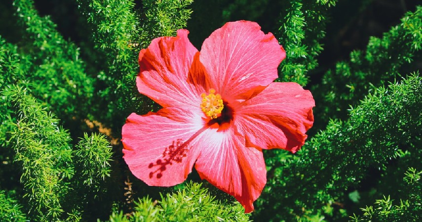 Bunga Hibiscus - 12 Jenis Tanaman Aromaterapi