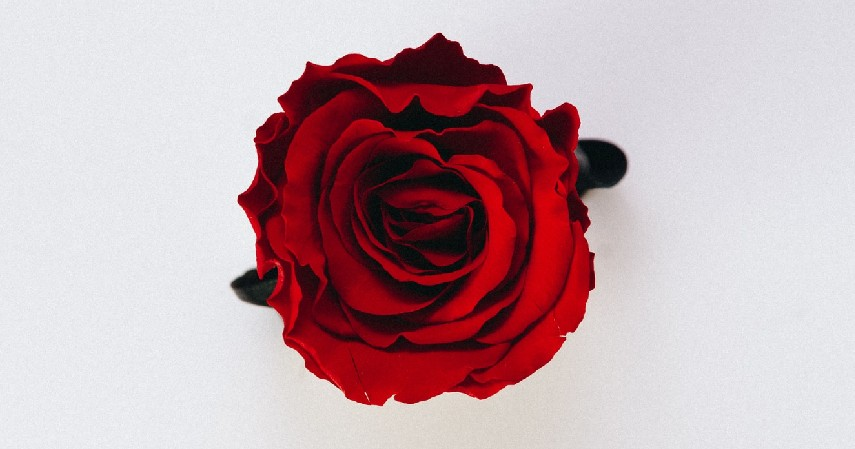 Bunga Mawar - 12 Jenis Tanaman Aromaterapi
