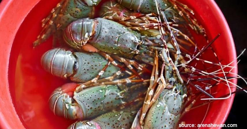 Proses Panen - 6 Cara Budidaya Lobster Air Tawar dan Laut